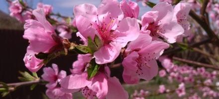 край цветущих персиков